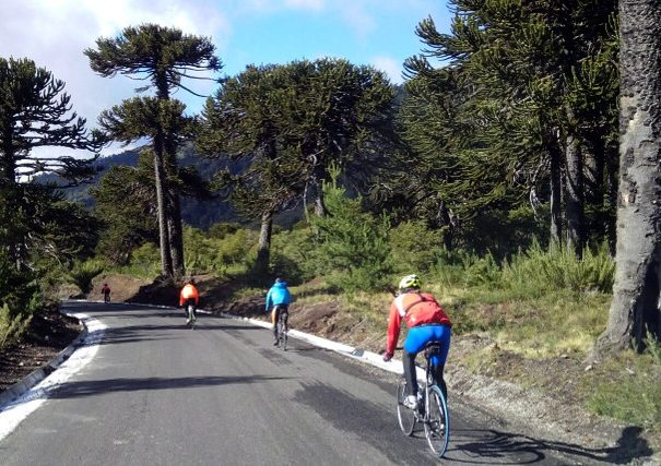 Cycling along Araucaria Forests during Cycling Tour in Chile´s Lake District