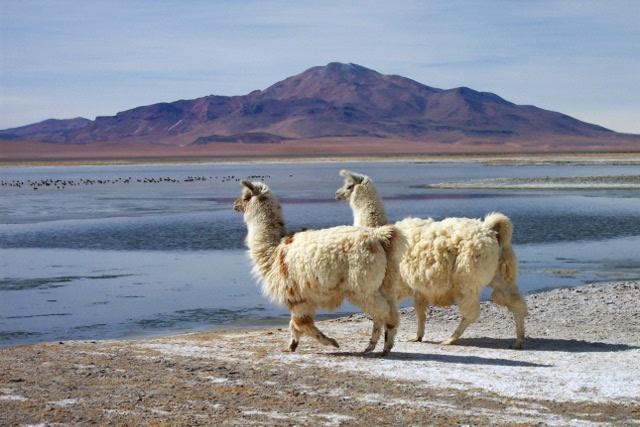 LLamas in Altiplano of the Atacama Desert in Northern Chile