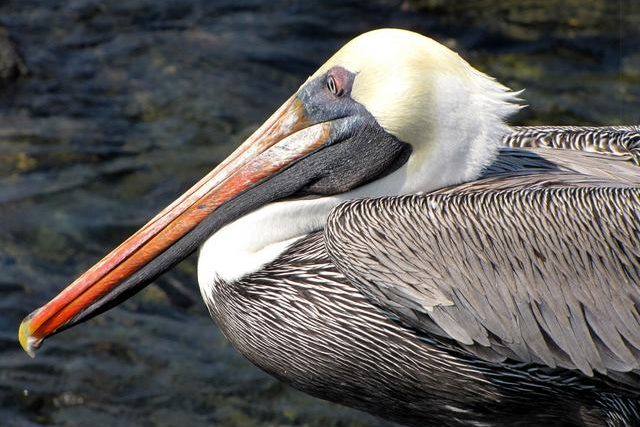 Galapagos Pelican spotted during Birdwatching Tour on Galapagos Islands Cruise in Ecuador