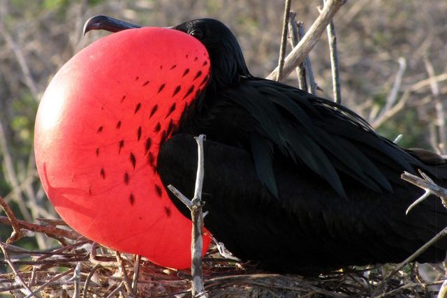 Magnificent Frigate Bird spotted on North Seymour Island during Birdwatching Tour on Galapagos Islands Cruise in Ecuador