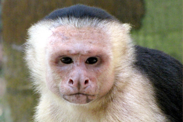 Capuchin Monkey spotted during Wildlife Tour of Corcovado National Park in Costa Rica