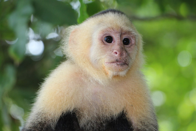 Costa-Rica-Corcovado-Monkey