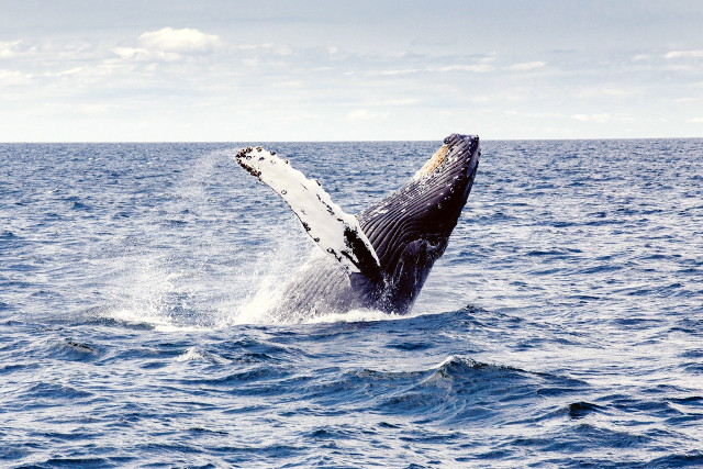 Costa-Rica-Wildlife-Trek-Humpback-Whale