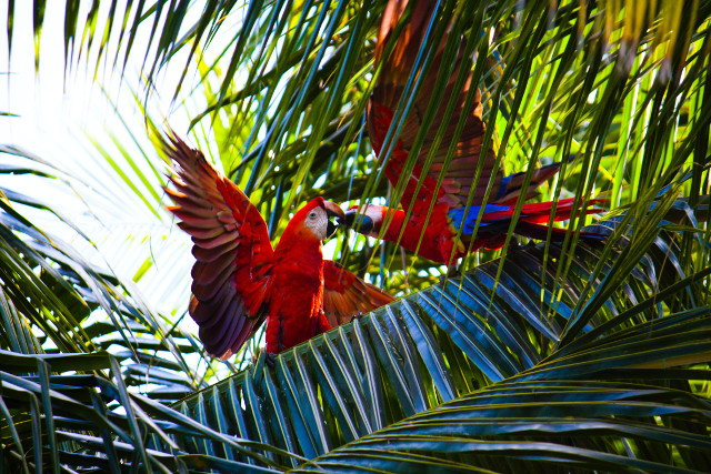 Costa-Rica-Wildlife-Trek-Scarlet-Macaws