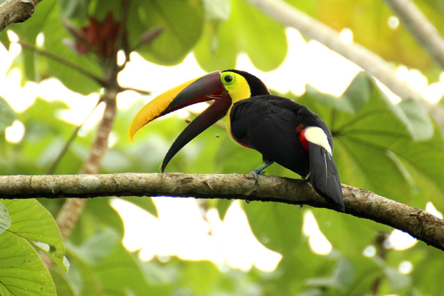 Costa-Rica-Wildlife-Trek-Toucan