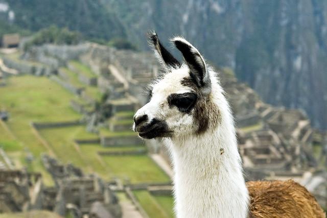 Peru Wildlife Llama