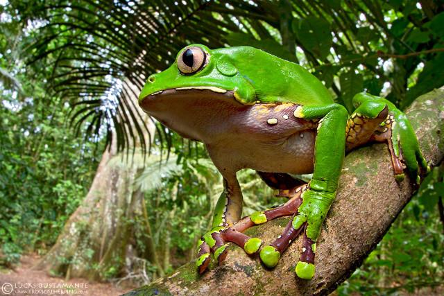 Amazon Wildlife - Frog