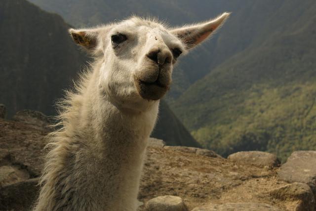 Peru-Choquequirao-Alpaca