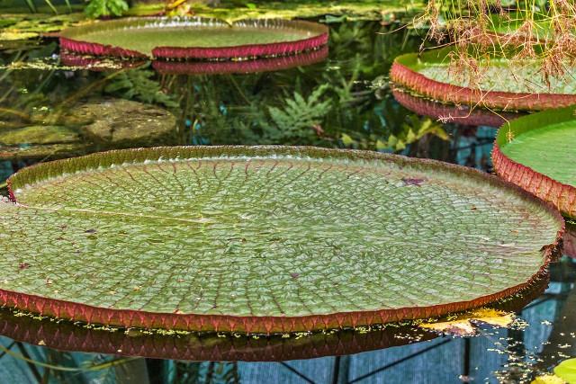 Brazil-Pantanal-Water-Lilies