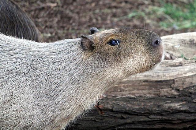 Brazil-Wildlife-Pantanal-Capybara