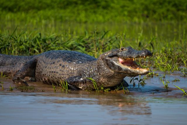 Brazil-Wildlife-Pantanal-Crocodile