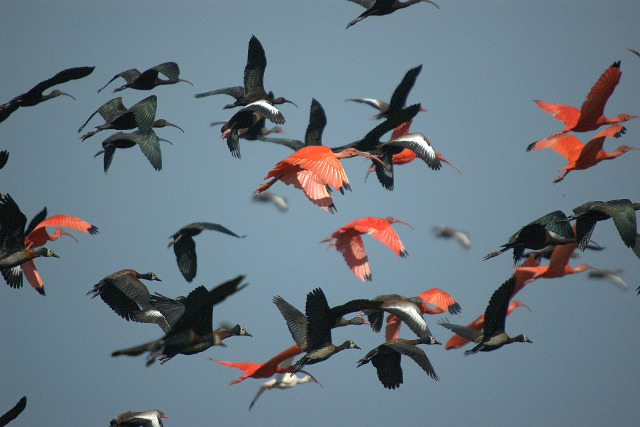 Colombia-Llanos-Birding-Ibis