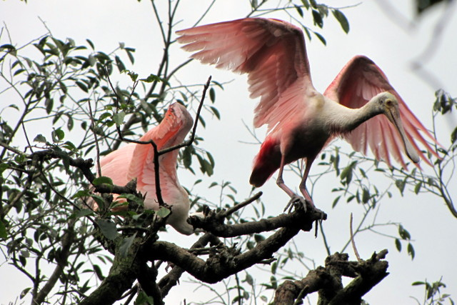 Colombia-Llanos-Birdwatching-Roseate-Spoonbill