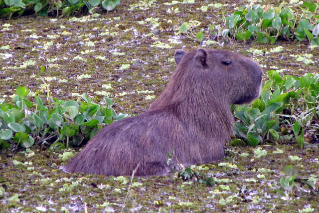 Colombia-Llanos-Eastern-Plains-Wildlife-Capybara