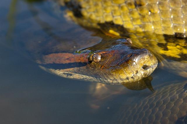 Colombia-Llanos-Wildlife-Anaconda