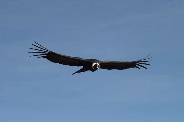 Chile-Torres-del-Paine-National-Park-Nature-Tour-Condor