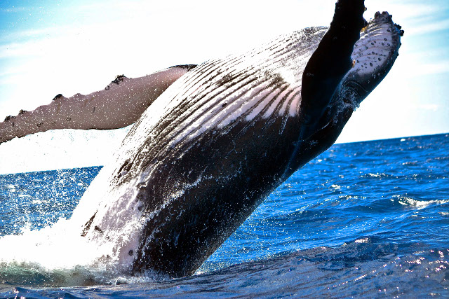Mexico-Baja-California-Adventure-Tour-Humpback-Whales