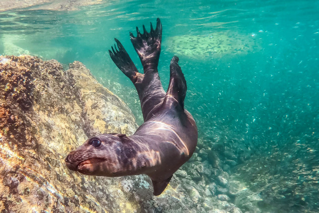 Mexico-Baja-California-Adventure-Tour-Snorkeling-Sea-Lion