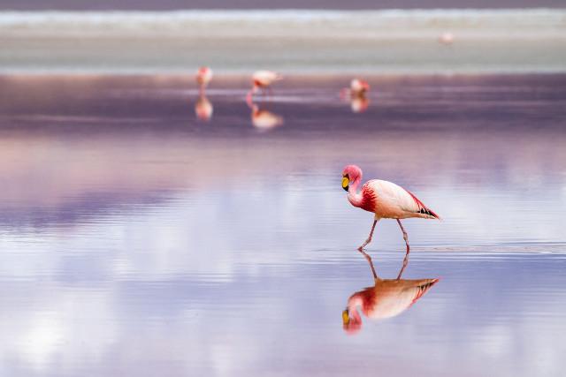 Bolivia-Uyuni-Salt-Flat-Colored-Lagoons-Flamingo