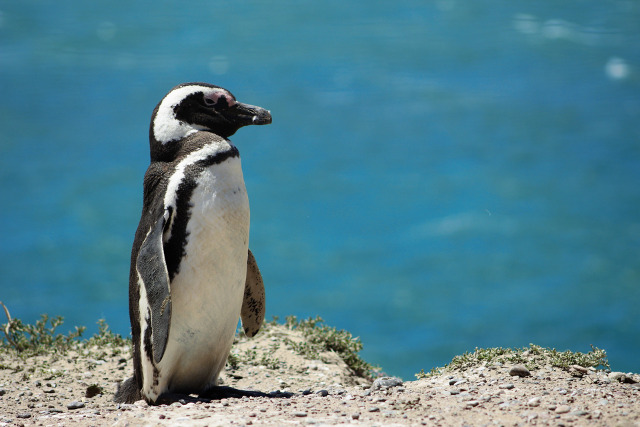 Chile-Patagonia-Family-Trip-Penguin