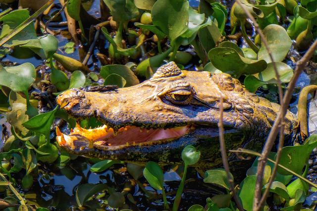 Brazil-Pantanal-Wildlife-Safari-Caiman