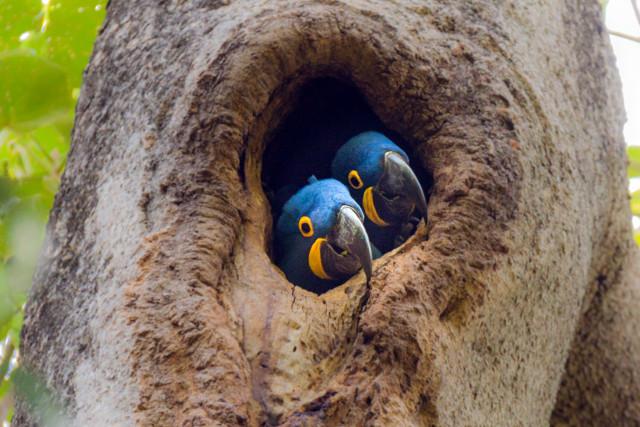 Brazil-Pantanal-Wildlife-Safari-Hyacinth-Macaw
