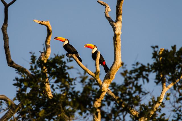Brazil-Pantanal-Wildlife-Safari-Toucan