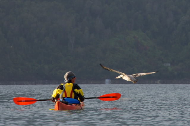 Chile-Northern-Patagonia-Sea-Kayaking-Pumalin-Park-Pelican