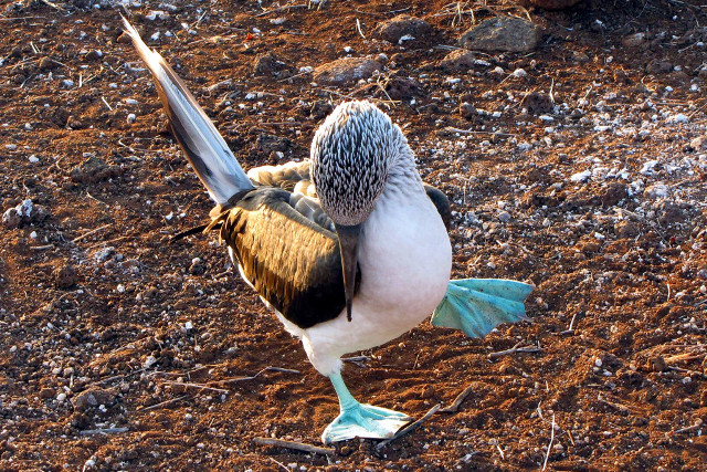 Ecuador-Galapagos-Island-Hopping-Blue-Footed-Booby