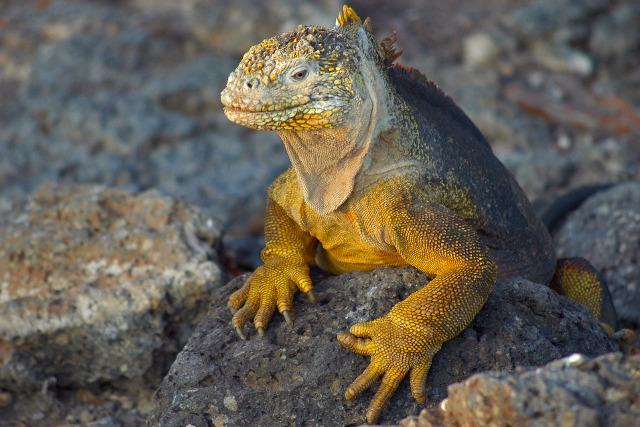 Ecuador-Galapagos-Island-Hopping-Lava-Lizard