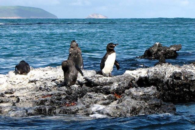 Ecuador-Galapagos-Island-Hopping-Penguins