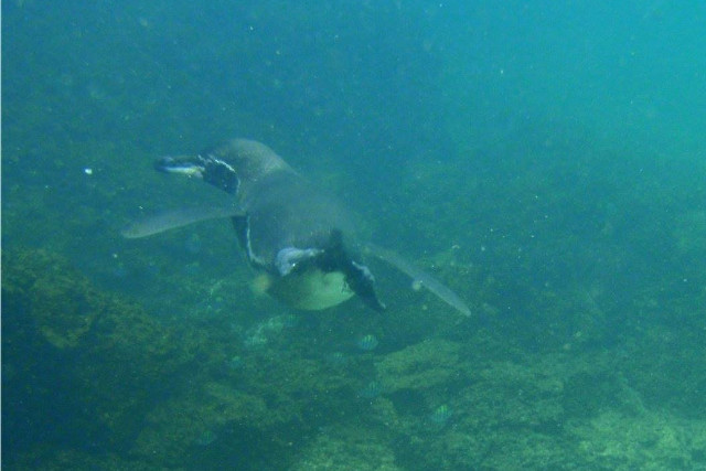 Ecuador-Galapagos-Island-Hopping-Snorkeling-Penguin