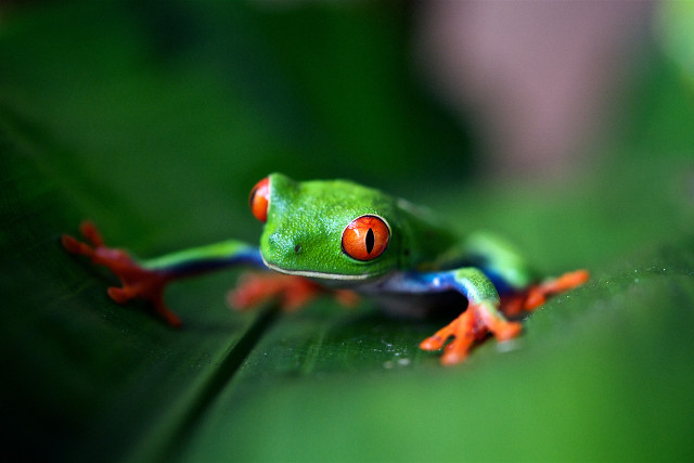 Costa-Rica-Family-Holiday-Frog
