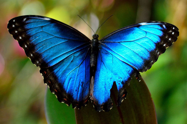 Costa-Rica-Self-Drive-Holiday-Blue-Morpho-Butterfly