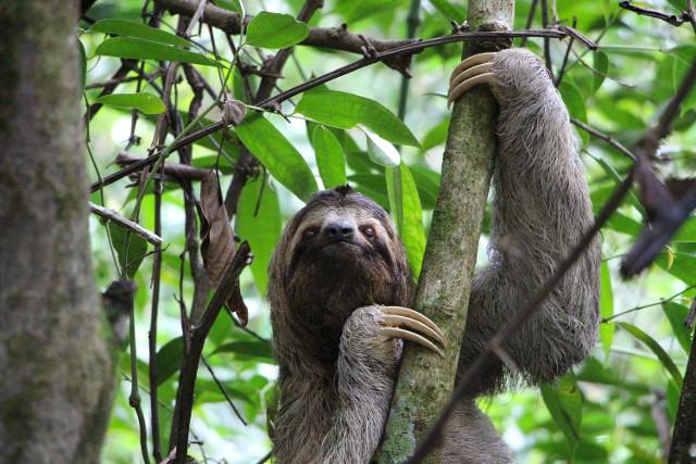 Costa-Rica-Self-Drive-Tour-Sloth